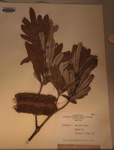 Original flower pressing from Captain James Cook.